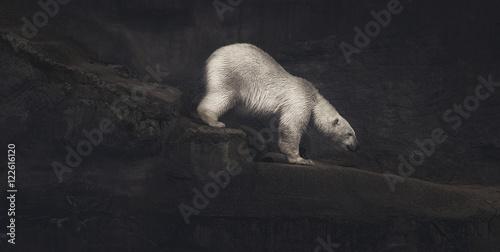 Tuinposter Ijsbeer Climbing polar bear