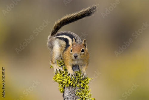 Golden mantled Ground Squirrel, Vancouver Island, British Columbia, Canada Poster