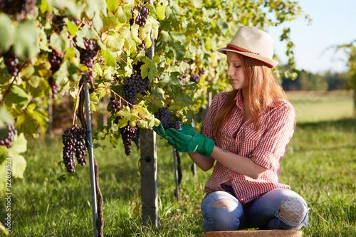Fotografía  Beautiful young blonde woman harvesting grapes outdoors in vineyard