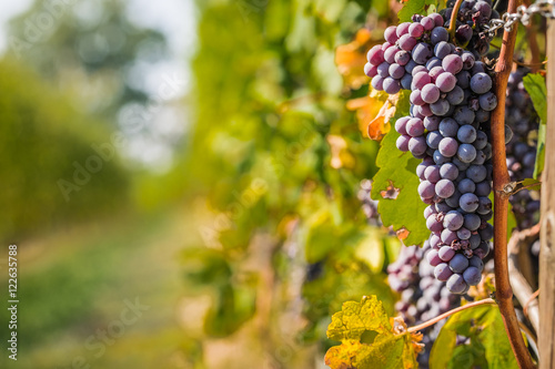 Tuinposter Wijngaard Bunch of Nebbiolo grapes in the vineyard ready for the harvest