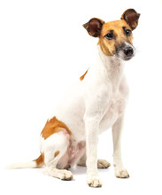 Portrait Of A Purebred Smooth Fox Terrier Of White Background