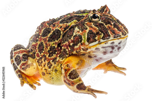 Fotografie, Obraz  Pacman frog Ceratophrys ornata, exotic frog from South America