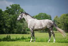 Beautiful Grey Horse Standing Outdoors