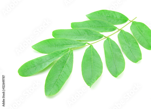 Fotografia  Cassod leaves, Thai copper pod (Senna siamea (Lam.) Irwin & Barn
