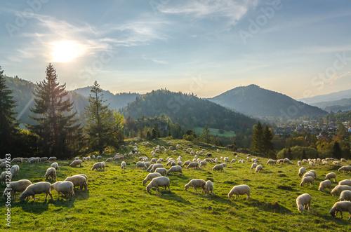 Foto op Aluminium Schapen Wypas owiec w Pieninach -Jaworki