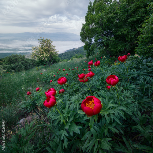 Poster  Poppies, Konyavksa Mountain, Bulgaria, Europe