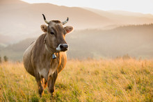 Cow In A Pasture In The Mountains Just Before Sunset