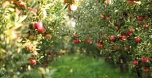 Ripe Apples In Orchard Ready F...