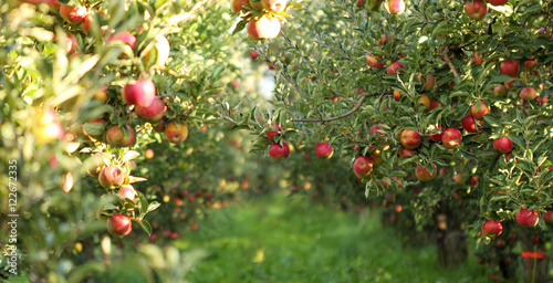 Fototapeta Ripe Apples in Orchard ready for harvesting
