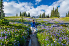 The Girl In A Blue Jacket Walking On The Path Among The Purple Flowers. Reflection Lake Trail, Mount Rainier