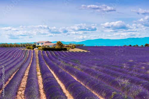 Fotobehang Snoeien Beautiful landscape view on the lavender field with farmhouse and mountains in Provence in France