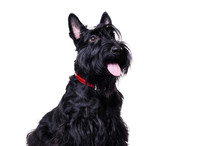Side View Portrait Of A Black Scottish Terrier Isolated On White
