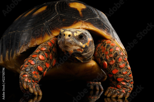 Poster Tortue Close-up of Red-footed tortoises, Chelonoidis carbonaria, Isolated black background with reflection, front view on funny pose