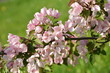 Beautiful blooming pink apple tree in the garden