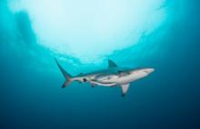 A Black Tip Shark Swimming Thr...