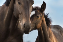 Mare And Foal Close Up Portrait