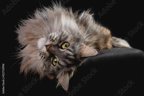 Photo  Maine Coon Katze Lucille