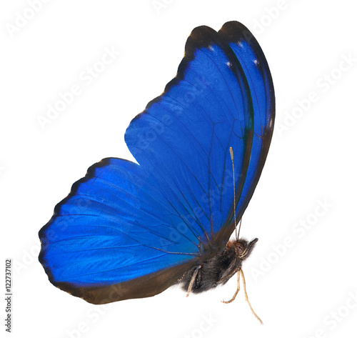 Fotografie, Obraz  blue isolated morpho side view