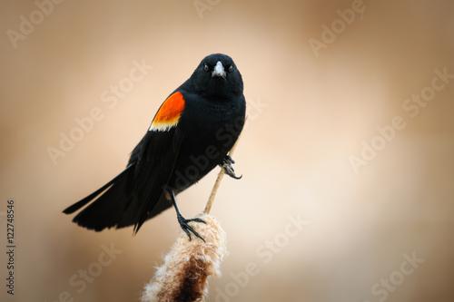 Photo  Red-winged Blackbird (Agelaius phoeniceus)