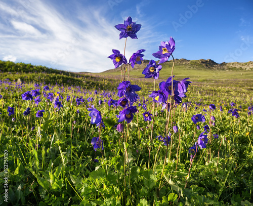 Tableau sur Toile Wild blue flowers named aquilegia alpina in mountains
