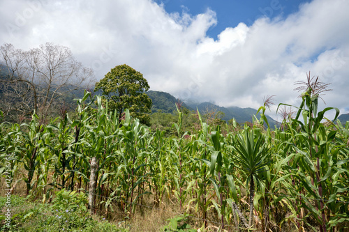 Valokuva  Green corn field in the highlands of western Honduras by the Santa Barbara Natio