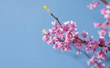 Eastern Redbud Tree, Cersis Canadensis, Brilliant Pink Flowers In Morning Sunlight Against Blue Sky