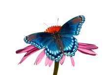 Red-spotted Purple Admiral But...