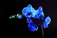 Blue Orchid Flower On Black  Background