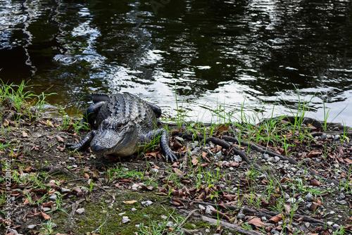 Fotografie, Obraz  wild aligator in a swamp at New Orleans , LA
