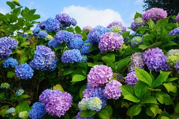 FototapetaPurple, blue and pink heads of hydrangea flowers