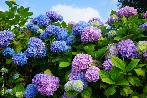 La pose en embrasure Hortensia Purple, blue and pink heads of hydrangea flowers
