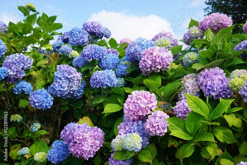 Photo sur Toile Hortensia Purple, blue and pink heads of hydrangea flowers