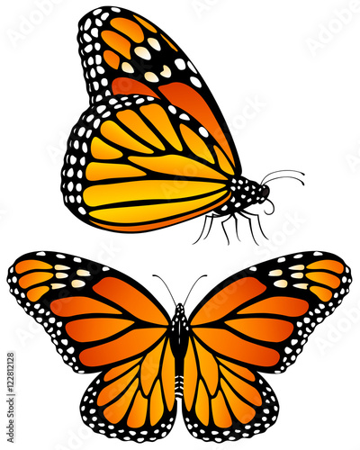Fototapeta  Vector illustration of monarch butterflies, both a side view and a top view