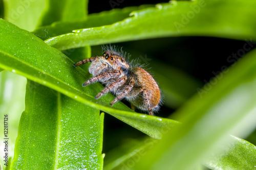 Fotografie, Obraz  A jumping spider, Carrhotus xanthogramma