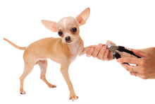 A Cutting Of Nails Of Chihuahua Dog, Isolated On White Background