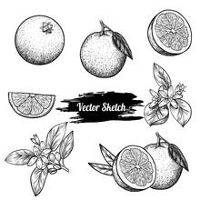 Vector Oranges Hand Drawn Sket...