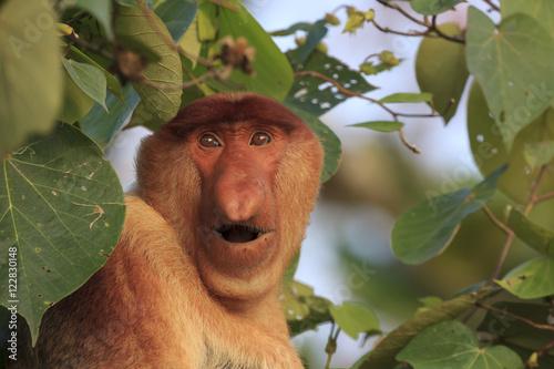In de dag Aap Proboscis Monkey.