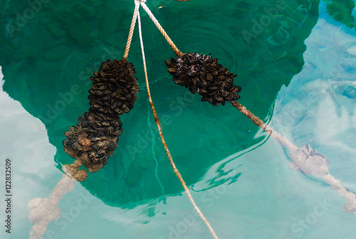 Valokuva  Blue mussles on the mooring line in the sea