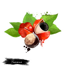 Guarana Fruit Isolated On White Background. Paullinia Cupana, Climbing Plant In The Maple Family, Sapindaceae. Fresh Tasty Fruit Colorful Drawing With Paint Splashes And Drips. Digital Art Design