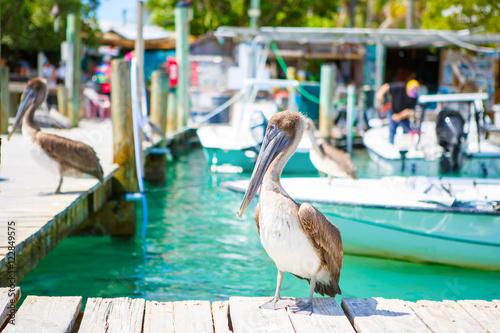 Valokuva  Big brown pelicans in Islamorada, Florida Keys