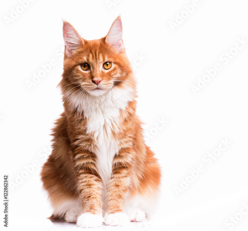 Fototapeta premium Portrait of domestic red Maine Coon kitten - 8 months old. Cute young cat sitting in front and looking at camera. Curious young orange striped kitty isolated on white background.