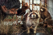 Preparing The Raccoon Diorama