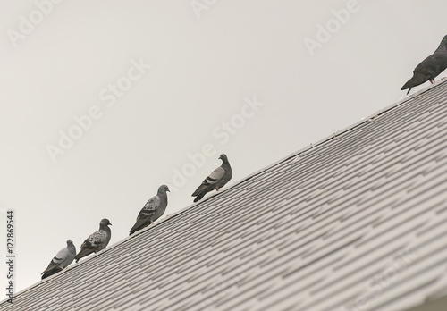 group/flock pigeon or dove birds on roof tile.