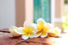 Blooming White Plumeria Or Frangipani Flowers On The Brick Floor