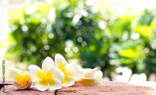 Blooming white Plumeria or Frangipani flowers on the brick floor
