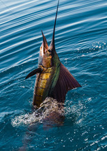 Sailfish On A Fishing Line In Sea Of Cortez