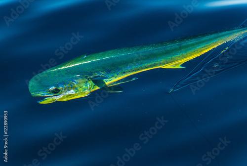 Fototapeta  Dorado on fishing line caught in Sea of Cortez Baja Mexico