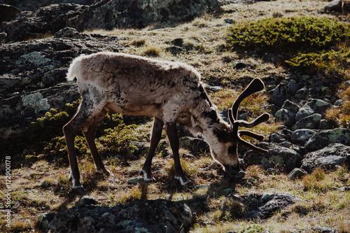 Hiking in Norway, Besseggen in Jotunheimen - Reindeer Poster