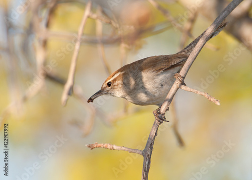 Fotografie, Obraz  Bewick's Wren carrying an insect, ready to feed the brood