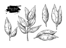 Bay Leaf Vector Hand Drawn Illustration. Isolated Spice Object.